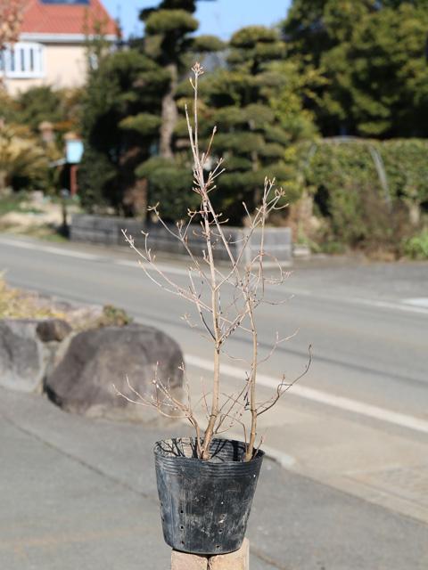 背が高くなる ミツバツツジ 0.4m15cmポット 5本セット 1年間枯れ保証 送料無料 特別セール品 山林苗木 誕生日 お祝い