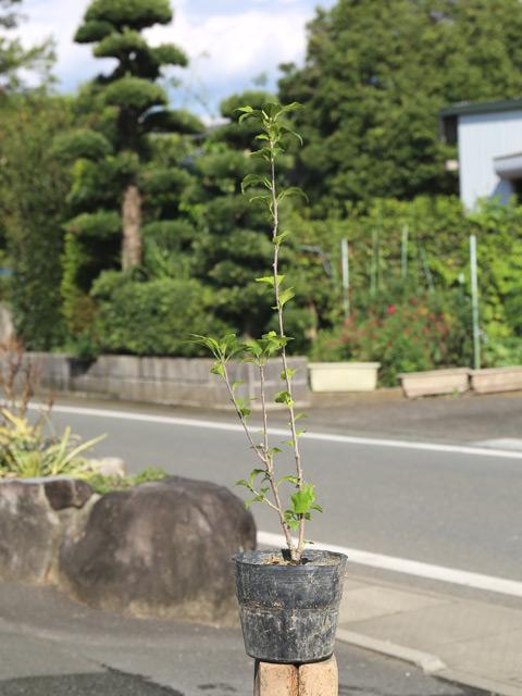ムクゲ 0.6m15cmポット 12本セット 送料無料【1年間枯れ保証】【夏に花が咲く木】