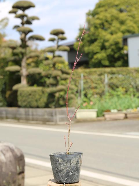 イロハモミジ 0.3m10.5cmポット 50本セット 送料無料【1年間枯れ保証】【紅葉が美しい木】