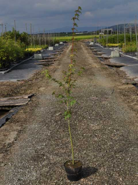 紅葉の代名詞 イロハモミジ 0.8m15cmポット 1本【1年間枯れ保証】【紅葉が美しい木】