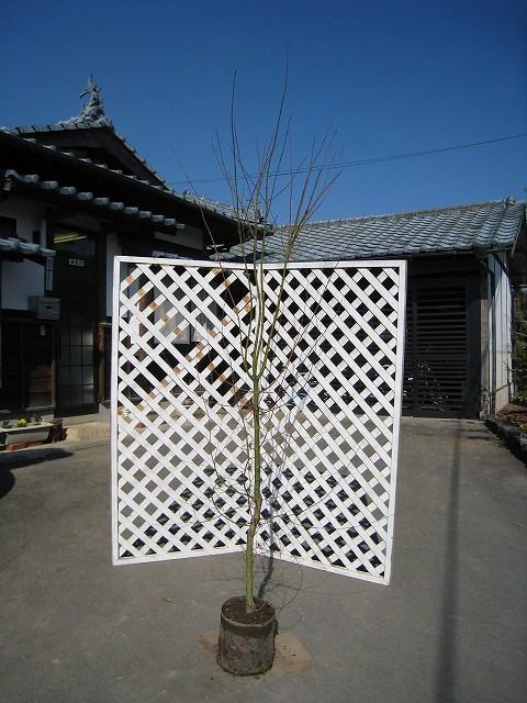 イロハモミジ単木 1.7m露地 1本【1年間枯れ保証】【シンボルツリー落葉】