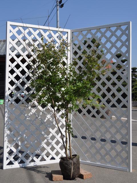 紅葉の代名詞 割引 イロハモミジ株立ち 1.5m露地 与え シンボルツリー落葉 1本 1年間枯れ保証