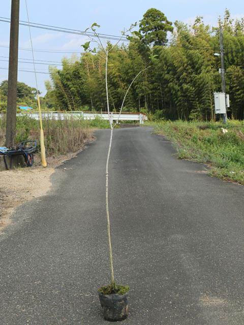 マユミ 1.2m露地 2本セット 送料無料【1年間枯れ保証】【葉や形を楽しむ木】