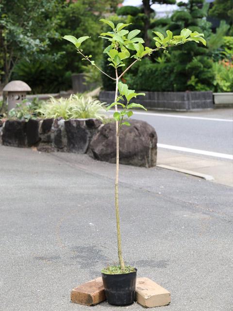 【1年間枯れ保証】【葉や形を楽しむ木】マユミ 1.2m15cmポット 3本セット 送料無料