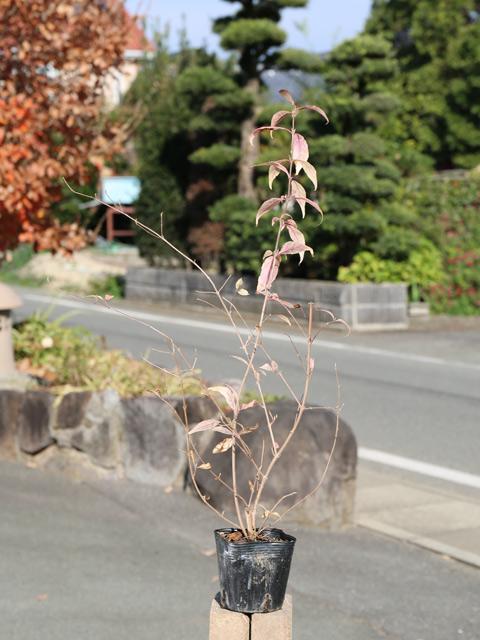 ムラサキシキブ 0.5m10.5cmポット 40本セット 送料無料【1年間枯れ保証】【葉や形を楽しむ木】