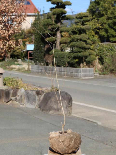 ムラサキシキブ 0.8m露地 3本セット 送料無料【1年間枯れ保証】【葉や形を楽しむ木】