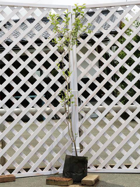 ムラサキシキブ 1.2m露地 2本セット 送料無料【1年間枯れ保証】【葉や形を楽しむ木】