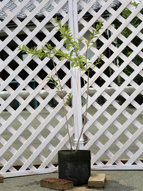 コムラサキシキブ 1.0m露地 2本セット 送料無料【1年間枯れ保証】【葉や形を楽しむ木】