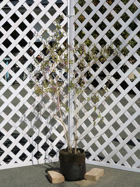 コムラサキシキブ 1.2m露地 1本【1年間枯れ保証】【葉や形を楽しむ木】