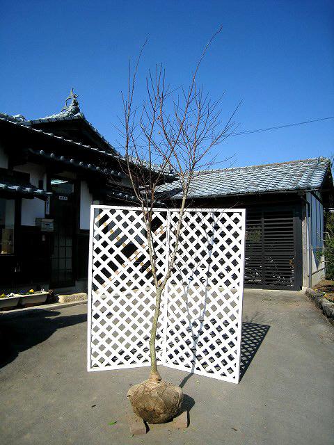 【1年間枯れ保証】【シンボルツリー落葉】ノムラモミジ 2.5m露地 1本
