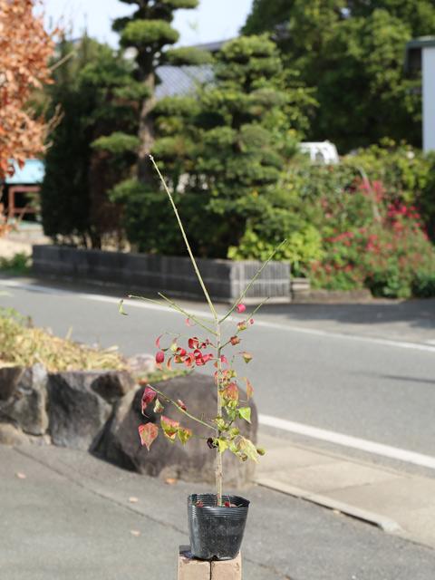 NEW ARRIVAL 秋に真っ赤に紅葉する いつでも送料無料 コマユミ 0.5m10.5cmポット 葉や形を楽しむ木 1本 1年間枯れ保証