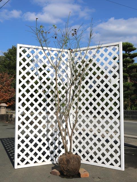 コマユミ 1.5m露地 1本【1年間枯れ保証】【葉や形を楽しむ木】
