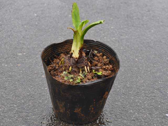 ミズバショウ 15cmポット 3本セット 送料無料【1年間枯れ保証】【水生植物】