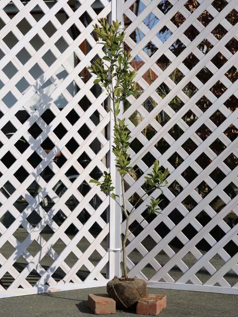 モチノキ単木 1.5m露地 2本セット 送料無料【1年間枯れ保証】【街路樹&公園樹】