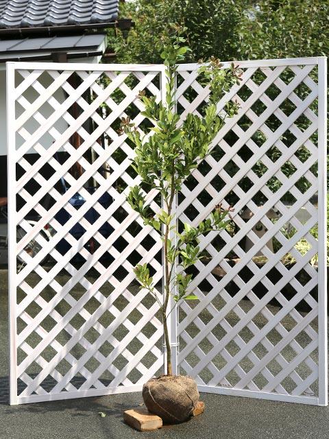 モチノキ単木 1.7m露地 2本セット 送料無料【1年間枯れ保証】【街路樹&公園樹】