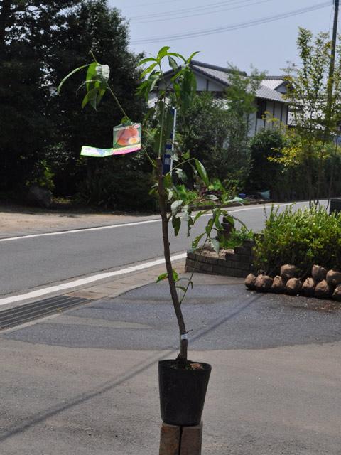 【1年間枯れ保証】【春・夏に収穫する果樹】モモ/ひめこなつ 15cmポット  3本セット 送料無料