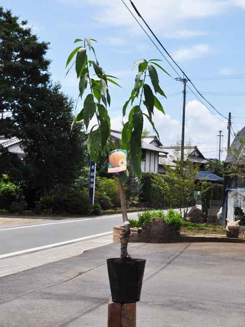 【1年間枯れ保証】【春・夏に収穫する果樹】モモ/黄金桃 15cmポット 3本セット 送料無料