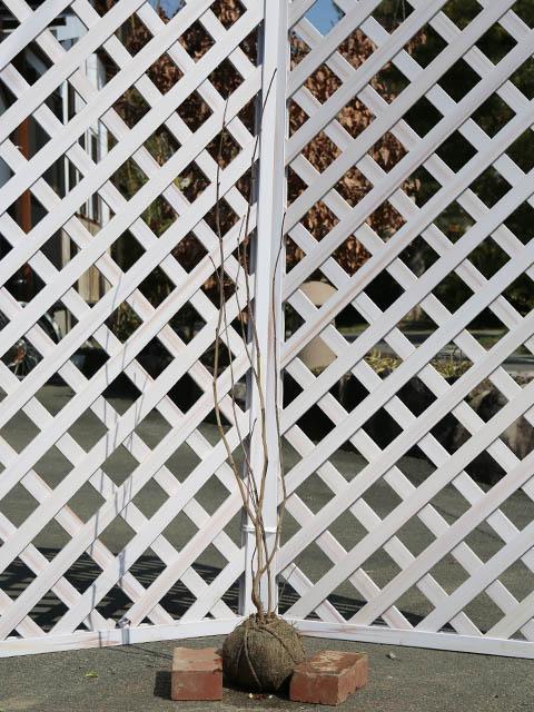 マルバノキ株立ち 1.0m露地 2本セット 送料無料【1年間枯れ保証】【山林苗木】