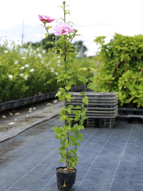 ムクゲ/桃八重 0.7m10.5cmポット 10本セット 送料無料【1年間枯れ保証】【春に花が咲く木】