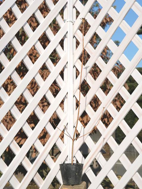 コバノミツバツツジ 0.5m10.5cmポット 8本セット 送料無料【1年間枯れ保証】【山林苗木】