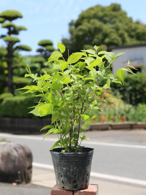 シロヤマブキ 0.3m12cmポット 8本セット 送料無料【1年間枯れ保証】【春に花が咲く木】