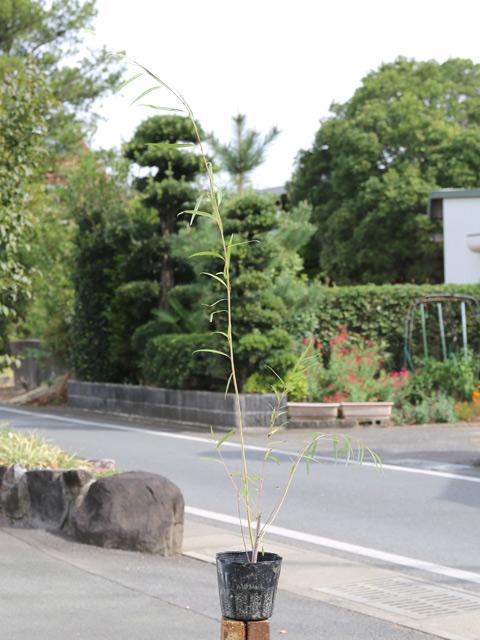 シダレヤナギ 1.0m15cmポット 10本セット 送料無料【1年間枯れ保証】【葉や形を楽しむ木】