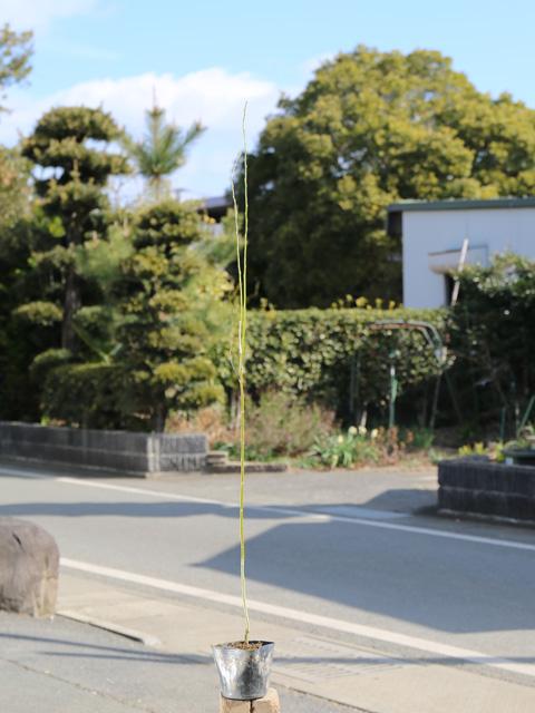ネコヤナギ 0.5m10.5cmポット 10本セット 送料無料【1年間枯れ保証】【葉や形を楽しむ木】