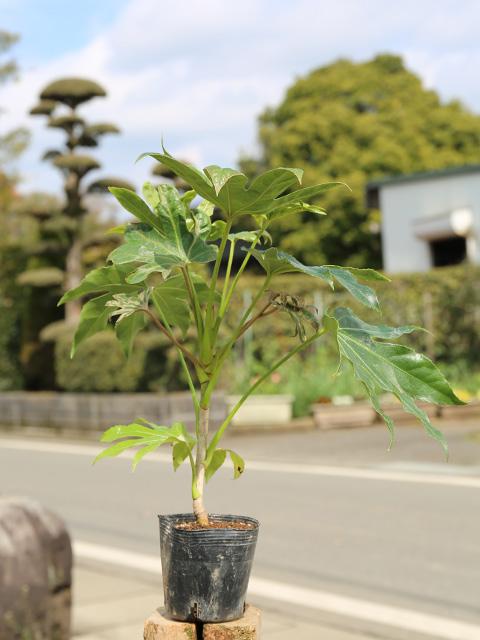 ヤツデ 0.2m10.5cmポット 12本セット 送料無料【1年間枯れ保証】【葉や形を楽しむ木】
