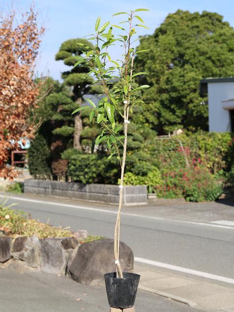 【1年間枯れ保証】【縁起木】ヒメユズリハ 1.0m 6本セット 送料無料