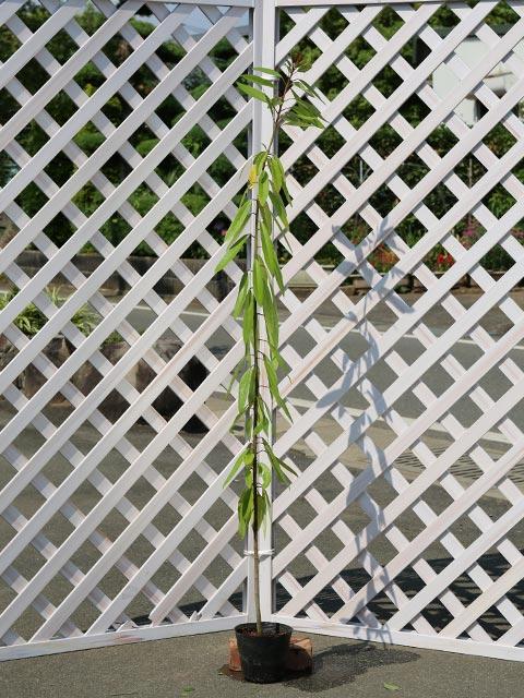 ヒメユズリハ 1.2m15cmポット 5本セット 2セット 送料無料【1年間枯れ保証】【縁起木】