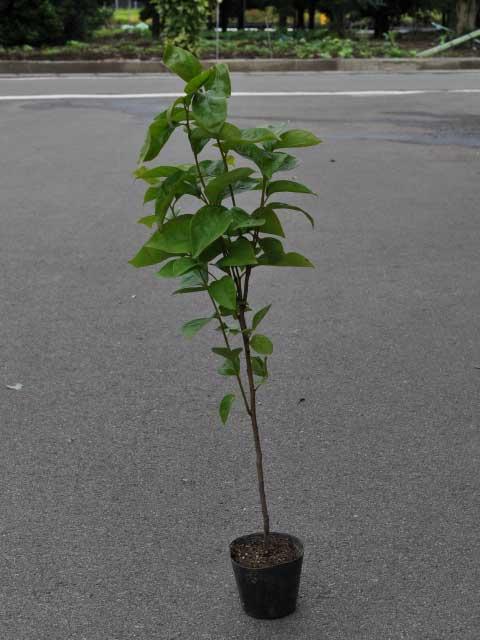 柿の自生種 ヤマガキ 0.5m10.5cmポット 1本【1年間枯れ保証】【山林苗木】