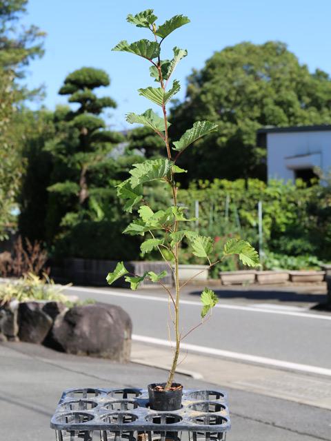 ヤマハンノキ 0.7m10.5cmポット 10本セット 送料無料【1年間枯れ保証】【山林苗木】