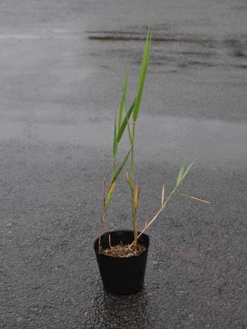 ヨシ 10.5cmポット 10本セット 送料無料【1年間枯れ保証】【水生植物】