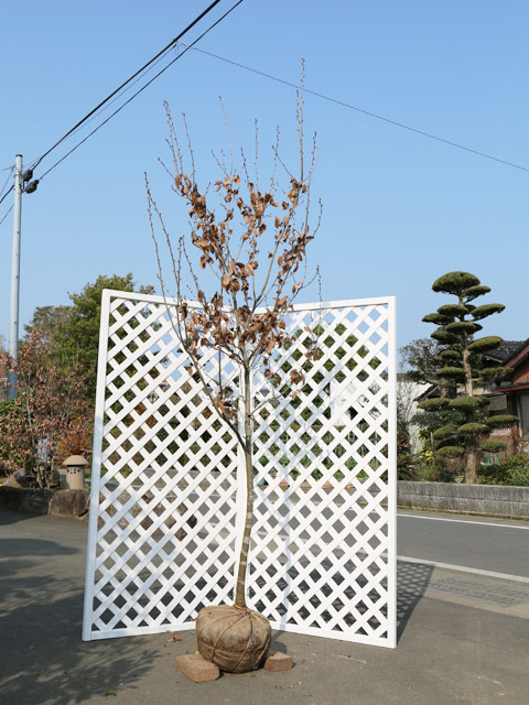 ヤマコウバシ単木 2.5m露地 2本セット【1年間枯れ保証】【雑木】【配達指定不可/大型商品】