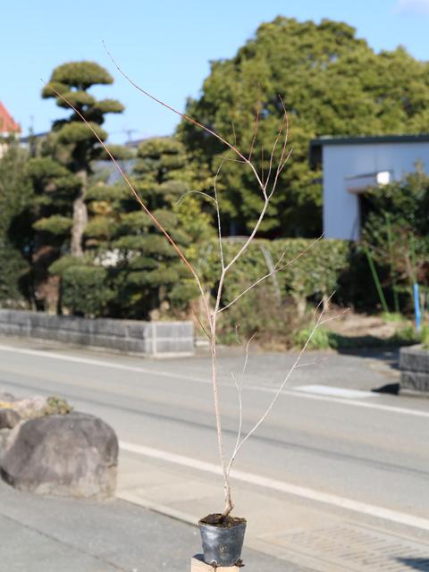 イヌコリヤナギ/ハクロニシキ 0.8m10.5cmポット 5本セット 送料無料【1年間枯れ保証】【葉や形を楽しむ木】