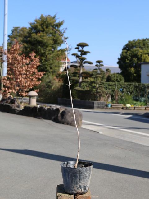 ヤブデマリ 0.3m10.5cmポット 15本セット 送料無料【1年間枯れ保証】【春に花が咲く木】