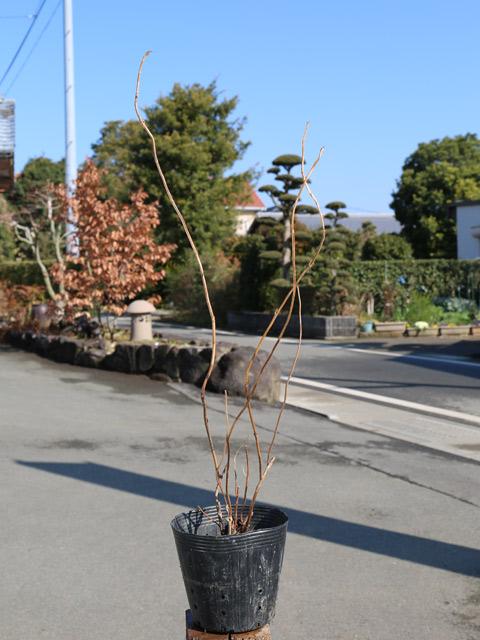 ヤマアジサイ紅花 0.5m15cmポット 6本セット 送料無料【1年間枯れ保証】【春に花が咲く木】