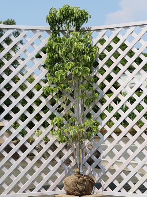 花つきがいい 常緑ヤマボウシ 月光株立ち 1.7m露地 1本 割引も実施中 1年間枯れ保証 割引 春に花が咲く木