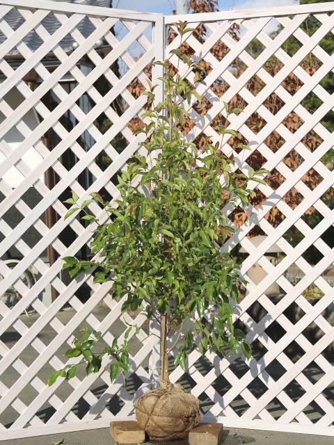 常緑ヤマボウシ/メラノトリカ単木 1.2m露地 1本【1年間枯れ保証】【シンボルツリー常緑】