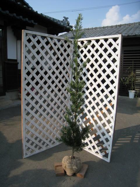 緑の壁になる ラカンマキ 2.3m露地 2本セット【1年間枯れ保証】【シンボルツリー常緑】