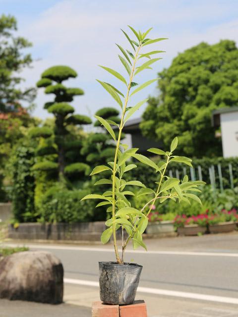 【1年間枯れ保証】【春に花が咲く木】レンギョウ 0.7m10.5cmポット 15本セット 送料無料