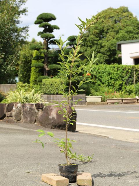 レンギョウ 1.2m15cmポット 5本セット 2セット 送料無料【1年間枯れ保証】【春に花が咲く木】