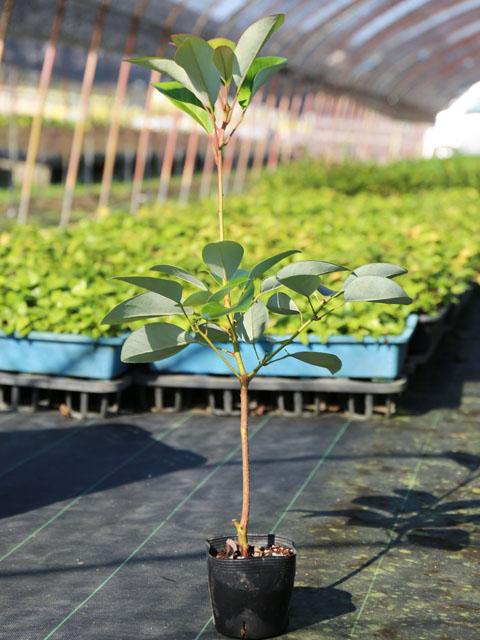 ロドレイア 0.5m10.5cmポット 10本セット 送料無料【1年間枯れ保証】【春に花が咲く木】