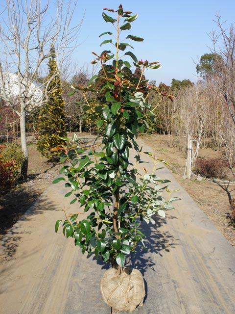 ロドレイア単木 1.2m露地 2本セット 送料無料【1年間枯れ保証】【春に花が咲く木】