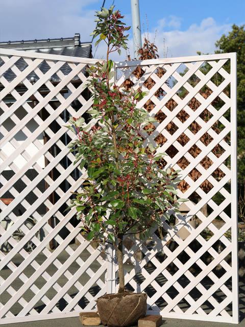 【1年間枯れ保証】【シンボルツリー常緑】ロドレイア単木 2.5m露地 1本
