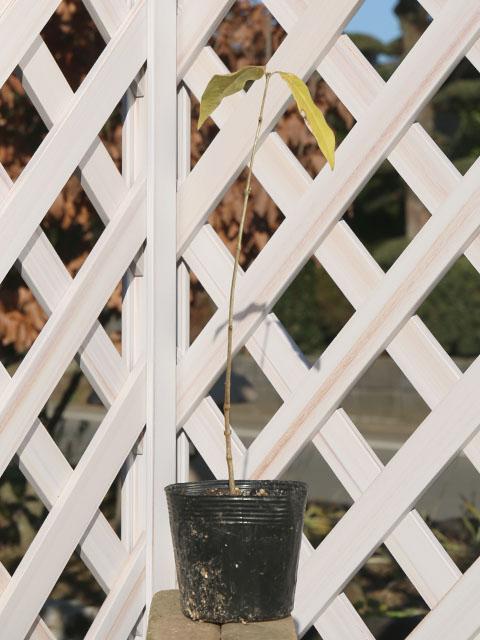 ロウバイ 0.2m10.5cmポット 10本セット 送料無料【1年間枯れ保証】【秋冬に花が咲く木】
