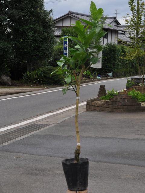 【1年間枯れ保証】【冬に収穫する果樹】ブッシュカン 15cmポット  3本セット 送料無料