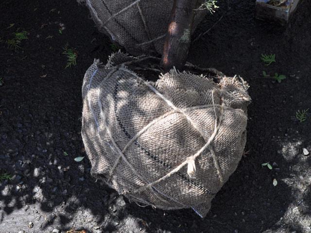 【ガーデニング資材】緑化資材/根巻き三角巾 60cm 10枚セット 15セット 送料無料