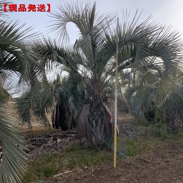 【現品発送】ココスヤシ樹高約4m(根鉢含まず) 南国 シンボルツリー 庭木 植木 常緑樹 常緑高木