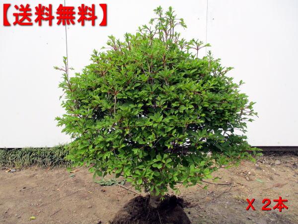 【送料無料】2本セット 玉ドウダンツツジ(白花)幅0.5m前後(根鉢含まず)花木 庭木 植木 落葉樹 落葉低木